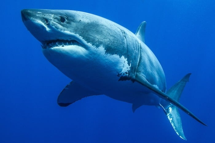 great-white-shark--horizon-liveaboard